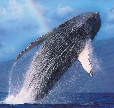 Spectacular Whale Watching with Ocean Sports - Whale Breach