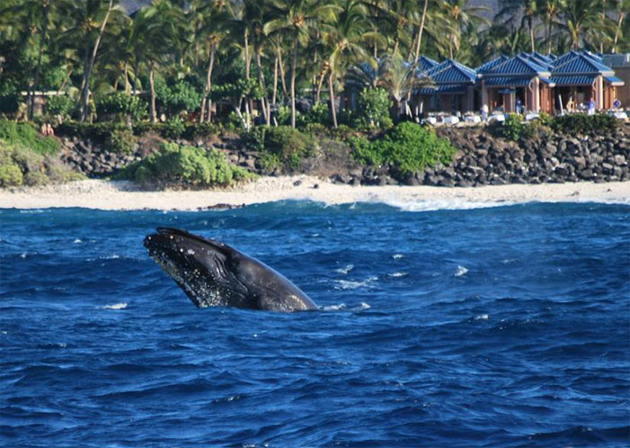 Whale Watching Cruise to the Best Locations in Hawaii