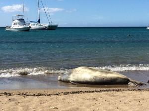 Monk Seal Naps at Anaeho'omlau Bay