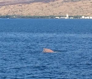 Brown colored Humpback