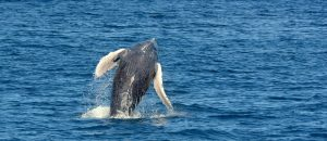 Check out the Ventral Pleats on this Breaching Whale!
