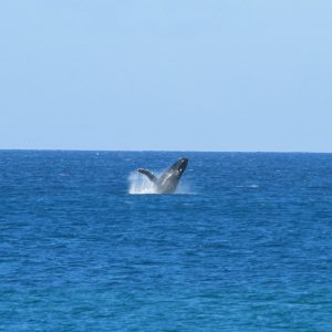 Small Humpback Breaches