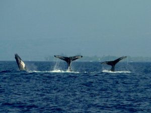 Over Heated Humpbacks