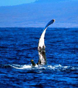 Pectoral Flipper