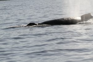 Humpback spouts close by! Image courtesy of Brian Reinsisch