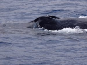 Humpback Cruises By Image Courtesy of Marty Kurpershoek