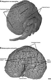 Humpback Brain
