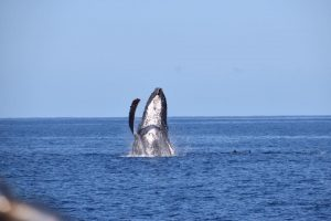 Humpback and dolphins