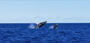 Mom and Baby Breach Together - Image courtesy of Captain Ryan