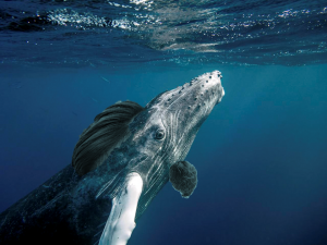 "Rare South Pacific Humpback.. See today's ""Fact of the Day"" for more info."