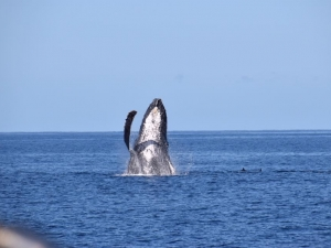 Humpback surrounded by dolphins. Image courtesy of Clarke Reid.
