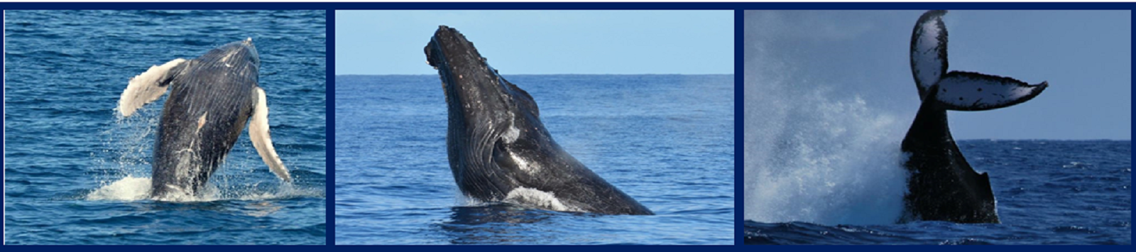 Learn about Hawaii's Humpbacks