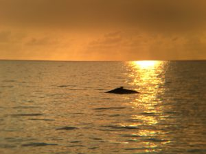 Humpback at Sunset Image courtesy of our own Greg Neilson