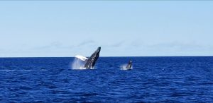 Mom Humpback and her Calf Breaching - Image courtesy of Captain Ryan
