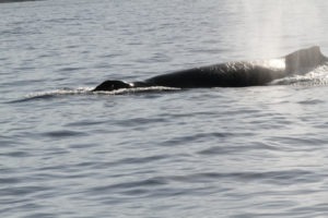 Humpback Spouting - Image courtesy of Brian Reinsisch