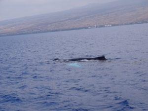 humpback