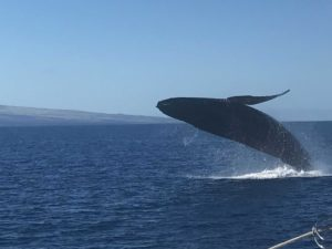 Mom breaches in front of the boat during Saturday's Whale Watch Cruise. Image courtesy of Jeffrey Selman.