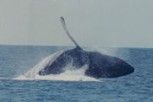 Humpback hits the surface after breaching.