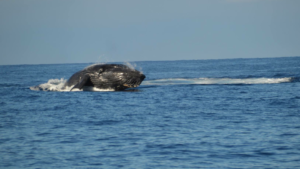 One Humpback from a Competitive Pod -Image courtesy of Susan Bagley