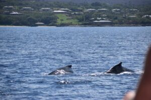 2 humpbacks - image courtesy of Denise Z